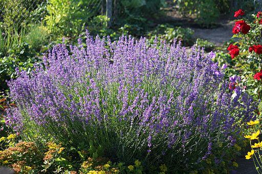 Echter Lavendel (Lavandula angustifolia) (9478066937)