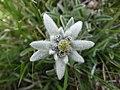 Edelweiss (5).JPG