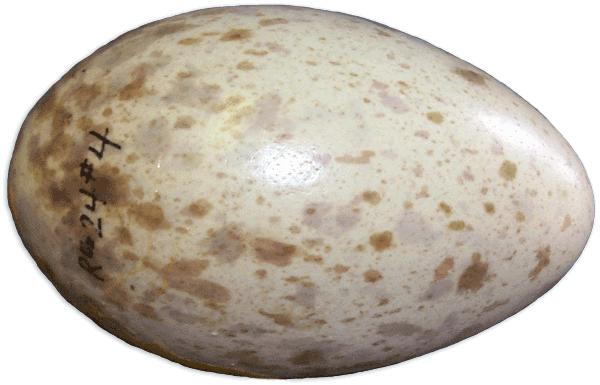 Egg125o