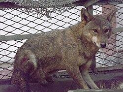 Loup d'Égypte, en captivité