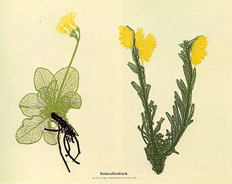 Botanical illustrator - Electrotype - 'nature printing' by Alois Auer (1853)