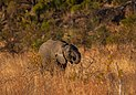 Elefante africano de sabana (Loxodonta africana), parque nacional Kruger, Sudáfrica, 2018-07-25, DD 03.jpg