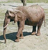Elephant african.jpg