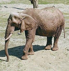 hoe oud wordt een olifant wikipedia