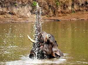 Asian Elephant in Nagarhole National Park