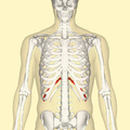Eleventh rib frontal.png