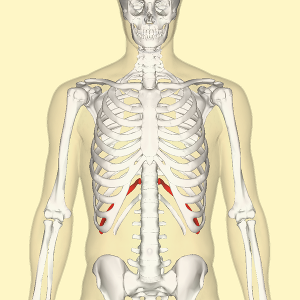 File:Eleventh rib frontal.png