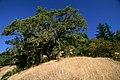 Elm Tree on Bluff, Rogue River-Siskiyou National Forest (37110550585).jpg