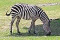 Em - Equus quagga - 5.jpg