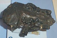 Enhydriodon campanii.JPG