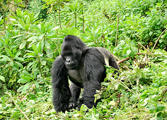 Eastern gorilla - Male