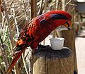 Eos reticulata -Denver Zoo-8a.jpg