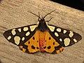 Epicallia villica (8723396164).jpg