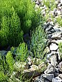 Equisetum arvense subsp. arvense sl27.jpg