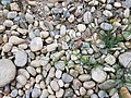 Equisetum arvense subsp. arvense sl42.jpg