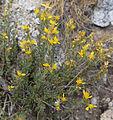 Ericameria suffruticosa Singlehead goldenbush.jpg