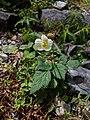 Eriocapitella vitifolia.jpg