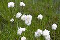Eriophorum vaginatum 03.jpg