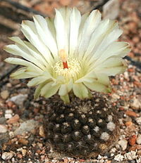 Eriosyce esmeraldana