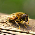 Eristalis arbustorum (male).jpg