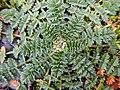 Erodium cicutarium feuilles en rosettes, près de la Deûle, Nord de la France (mi-février 2019) 02.jpg