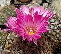 Escobaria viviparap-500px.jpg