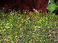 Esporos de musgo.jpg
