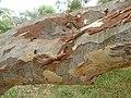 Eucalyptus mannifera (5449520078).jpg