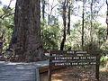 Eucalyptus marginata 1.jpg