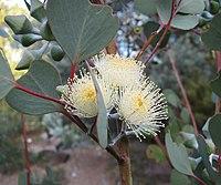 Eucalyptus orbifolia