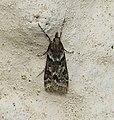 Eudonia angustea (37112324462).jpg