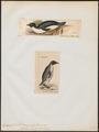 Eudyptes adeliae - 1700-1880 - Print - Iconographia Zoologica - Special Collections University of Amsterdam - UBA01 IZ17800251.tif