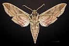 Eumorpha satellitia satellita MHNT CUT 2010 0 8 Edgard, Louisiana ventral.jpg