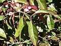 Euonymus grandiflorus-Jardin des plantes 09.JPG