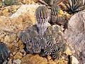 Euphorbia horrida.JPG