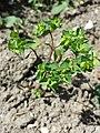 Euphorbia peplus (s. str.) sl9.jpg
