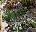 Euphorbia resinifera3 ies.jpg