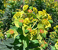 Euphorbia rigida 3.jpg