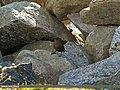 Eurasian Wren Troglodytes troglodytes neglectus, Gilgit (15895360022).jpg