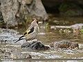 European Goldfinch (Carduelis carduelis) (44863184864).jpg