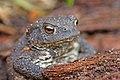 European Toad (Bufo bufo) (8619563936).jpg