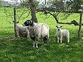 Ewe with lambs - geograph.org.uk - 808670.jpg