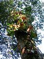 Expédition Sangha 2010 fougères épiphytes.jpg