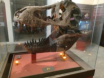 Fóssil de crânio de Tyrannosaurus rex.jpg