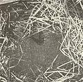 FMIB 41591 Nests of the Dogfish (Almia calva).jpeg