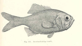Paratrachichthys trailli