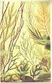 FMIB 53673 Algues brunes, Pheophycees.jpeg