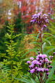 Fall-wildflowers - West Virginia - ForestWander.jpg