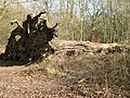 Fallen Giant - A victim of the Great Storm of 1987 - geograph.org.uk - 1187074.jpg