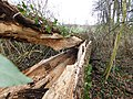 Fallen tree with ivy.jpg